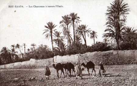 BOU-SAADA - Oasis et Chameaux