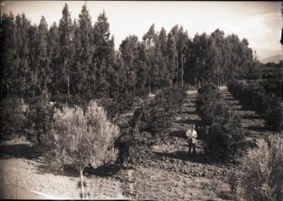 EL AFFROUN -  Les Eucalyptus
