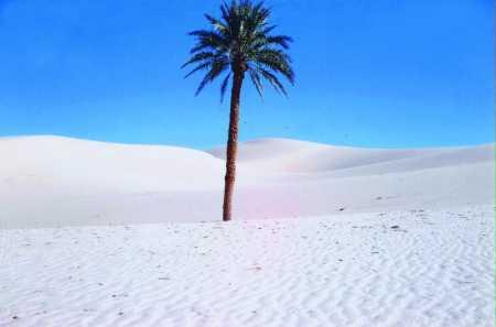 OUARGLA - 1961  Le Palmier dans les dunes