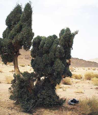Olivier du Sahara