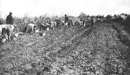 le ramassage des pommes de terre